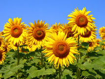 Blüht Sonnenblumen Stockfoto