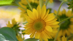Blüht Sonnenblumennahaufnahme stock footage