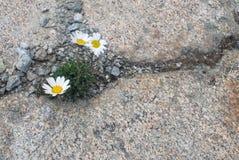 Blüht stärkeres als Steine Lizenzfreie Stockbilder
