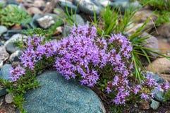 Blüht Thymianrosaberge Lizenzfreie Stockfotografie