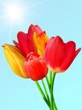 Blüht Tulpen lizenzfreies stockfoto