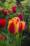 Blüht Tulpen Stockfoto