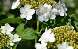 Blüht Viburnum (Viburnum opulus) Stockbild