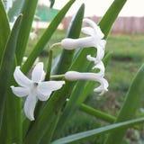Blüht weiße Blatthausnatur Lizenzfreie Stockfotografie
