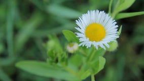 Blüht weiße Gänseblümchen stock video