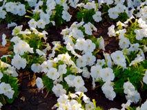 Blüht weiße Pansies auf einem Rasen, der im Sommer blüht Lizenzfreie Stockfotografie