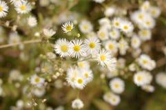 Blüht weißes Gelb stockbild