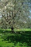 Blüte auf Baum. Lizenzfreie Stockfotos