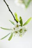 Blüte auf Birnenbaum Stockfotos