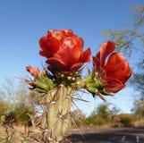 Blüte auf Kaktusfeige-Kaktus Stockfotos