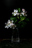 Blüte blüht im Vase, der auf einem schwarzen Hintergrund lokalisiert wird Stockbild