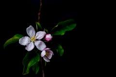 Blüte blüht im Vase, der auf einem schwarzen Hintergrund lokalisiert wird Lizenzfreies Stockfoto
