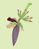 Blüte der Banane Stockbilder