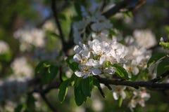 Blüte der Birne stockbilder