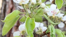 Blüte der Birne stock video footage