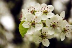 Blüte der Bradford-Birne Stockfotos