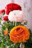 Blüte der Butterblume mit drei Farben Lizenzfreie Stockfotos
