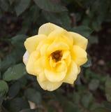 Blüte der gelben Rosen im Garten Stockbild