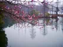 Blüte der japanischen Pflaume Lizenzfreies Stockbild