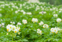 Blüte der Kartoffelblumen Lizenzfreie Stockbilder