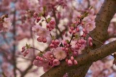 Blüte der Kirschblütes in Paris Stockbilder
