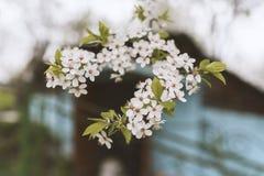 Blüte der Kirschpflaume, schöner Hintergrund Frühling stockfotografie