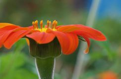 Blüte der mexikanischen Sonnenblume auf Hawaii-Insel stockbild