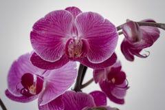 Blüte der Orchideen-im Stockfotografie