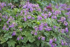 Blüte der Pelargonie Lizenzfreies Stockfoto