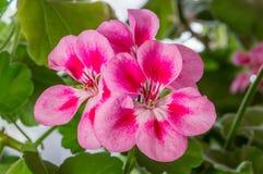 Blüte der Pelargonie (Pelargonie) Stockfotografie