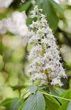 Blüte der Rosskastanie Stockfotografie