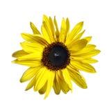 Blüte der Sonnenblume Lizenzfreies Stockfoto