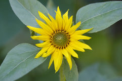 Blüte der Sonnenblume Stockfotografie