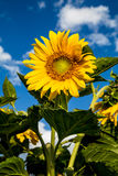 Blüte der Sonnenblume Stockfotos