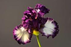 Blüte des Admirals Nelson Stockbild
