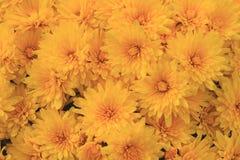 Blüte des gelben Falles Autumn Mums Stockbild