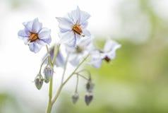 Blüte des Kartoffel ` blauen Schwede-` Lizenzfreies Stockbild