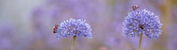 Blüte des Knoblauchs, Lauch mit Bienen stockfotos