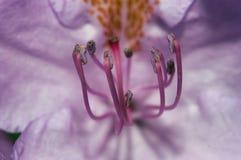 Blüte des Rhododendrons Lizenzfreie Stockbilder