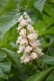 Blüte des Rosskastaniebaums Lizenzfreies Stockfoto