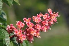 Blüte des Rosskastaniebaums Stockfotos