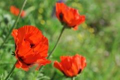 Blüte des Scharlachrots Mohnblume Stockbilder