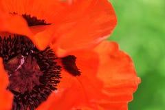 Blüte des Scharlachrots Mohnblume Stockfotos
