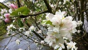 Blüte des wilden Apfels auf den Banken des Meurthe-Flusses stockbild
