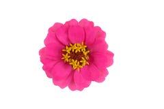Blüte des Zinnia (Zinnia violacea) Stockfotografie
