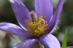 Blüte einer Frühlingsblume Makro Purpur und Gelb lizenzfreie stockfotos