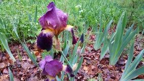Blüte einer verließ vibrierende violette farbige Iris stolz unter dem Gewicht des Ernährungsregens durch einen plötzlichen Frühli stockbild