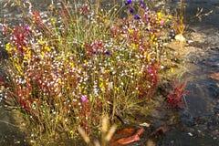 Blüte Hedyotis sp.flower (RUBIACEAE) auf nassem Stein Stockbild