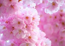 Blüte im Rosa lizenzfreie stockfotos