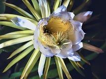 Bl?te, K?nigin der Nacht, Harrisia Pomanensis, Teneriffa, Kanarische Inseln, Spanien, Europa lizenzfreies stockfoto